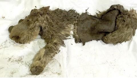Sacha is eerste Jonge wolharige neushoorn, compleet met vacht, gevonden in Rusland
